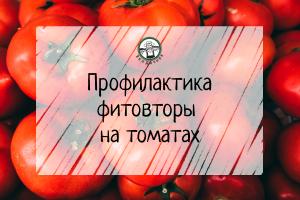 Профилактика фитофторы на томатах