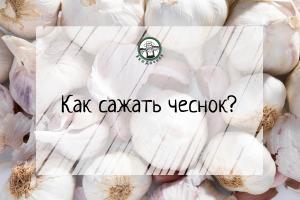 Как сажать чеснок?